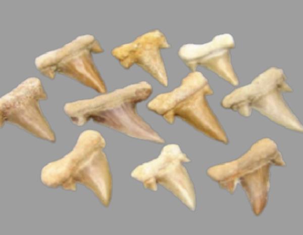 Dente Tubarão